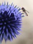 Blaue Kugeldistel mit Schwebfliege