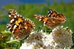 Distelfalter auf Blüte