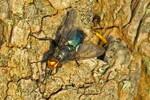 Blaue Schmeißfliege