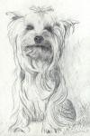 Yorkshire Terrier Fips