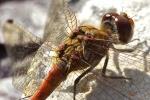 Gemeine Heidelibelle - Flügelmuskulatur