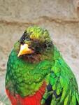 Goldkopf-Quetzal