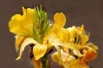 Gelbe Canna