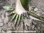 Susanne Frank: Wurzel eines Maisstaude
