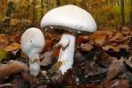 Weißer Anis-Champignon
