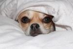 Chihuahua Cindy im Bett