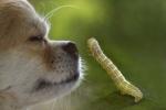 Chihuahua mit Larve Kleiner Frostspanner