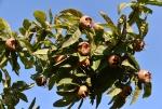 11 Mispelfrüchte an einem strahlenden Novembertag