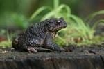Runzelig, aber schön - Erdkröte