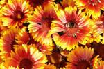 Hummel besucht Kokardenblume